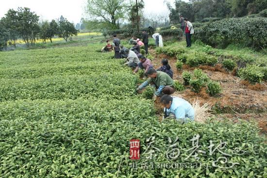 贵州黔西县茶叶种植正如火如荼进行