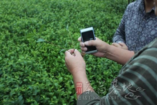 农民种植金牡丹、白芽奇兰、紫牡丹、金观音、福鼎大白茶苗