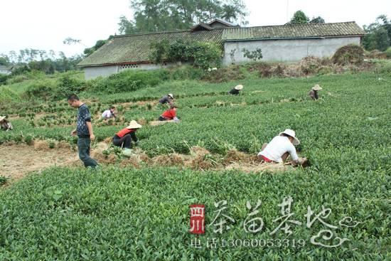 陕西汉阴县汉阳镇新建茶园茶苗闹起了小情绪