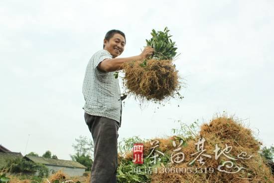 茶苗短穗扦插技术