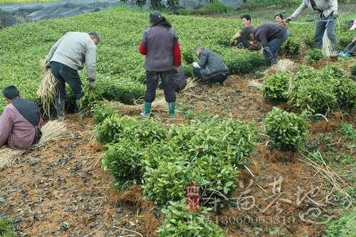 江西庐山开展春季茶苗种植活动