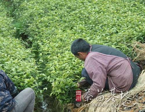 湖南茶陵县万樟茶苗栽种正当时