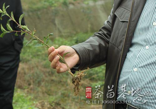 湖北引进茶苗新品种助推我茶产业提质增效