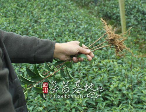 浙江安吉捐赠白茶苗 支持扶贫产业