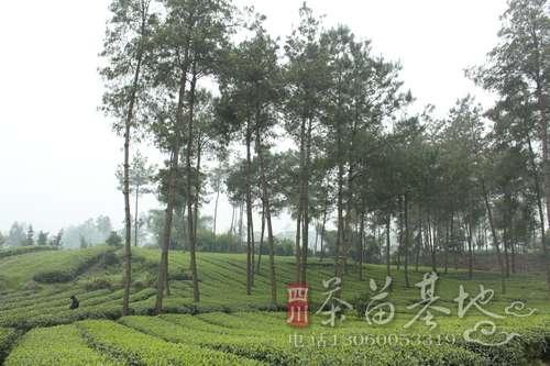 贵州平塘县抢抓最佳时节培育茶苗