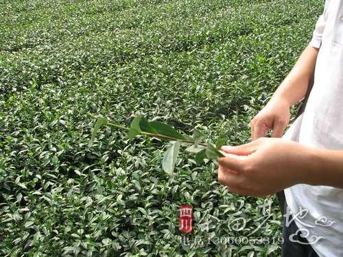 哪里才是面积最大的茶苗产出基地