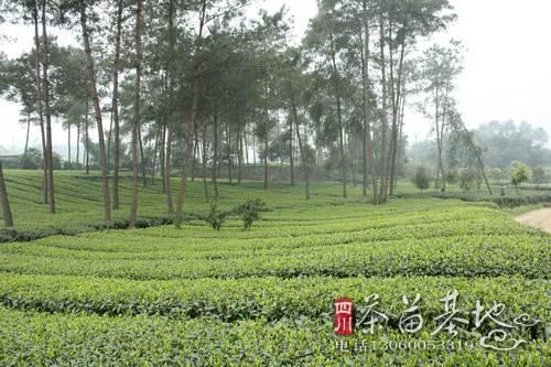 四川茶叶发展的优势