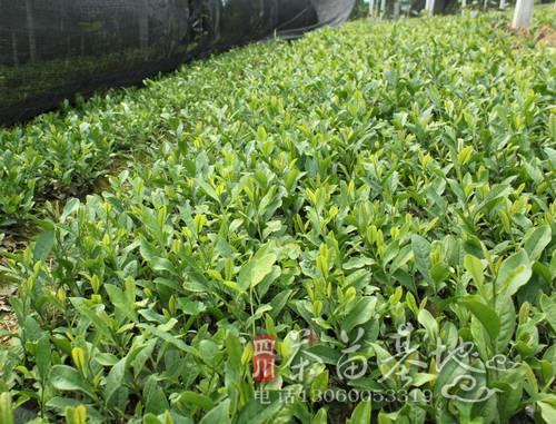 无性系茶苗种植及苗期管理